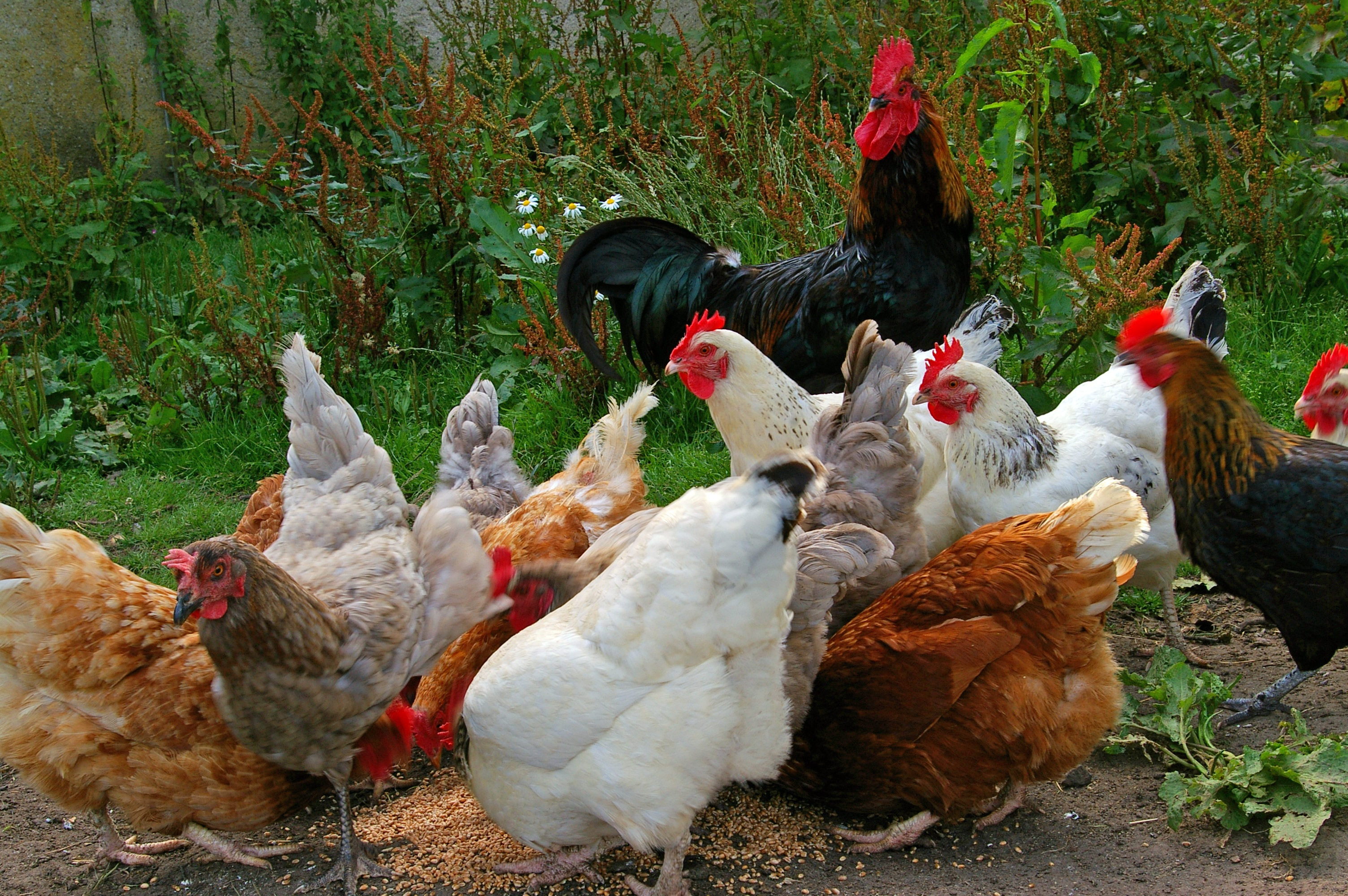 bird-farm-village-food-chicken-fowl-704974-pxhere.com